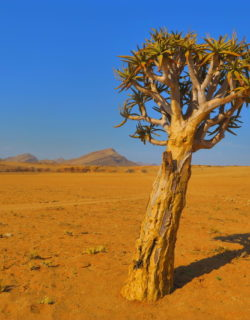 Ein Köcherbaum vor strahlend blauem Himmel