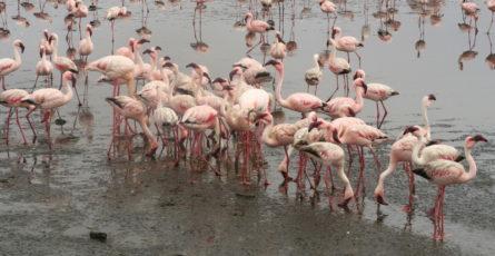 Flamingos auf Futtersuche in Walvis Bay