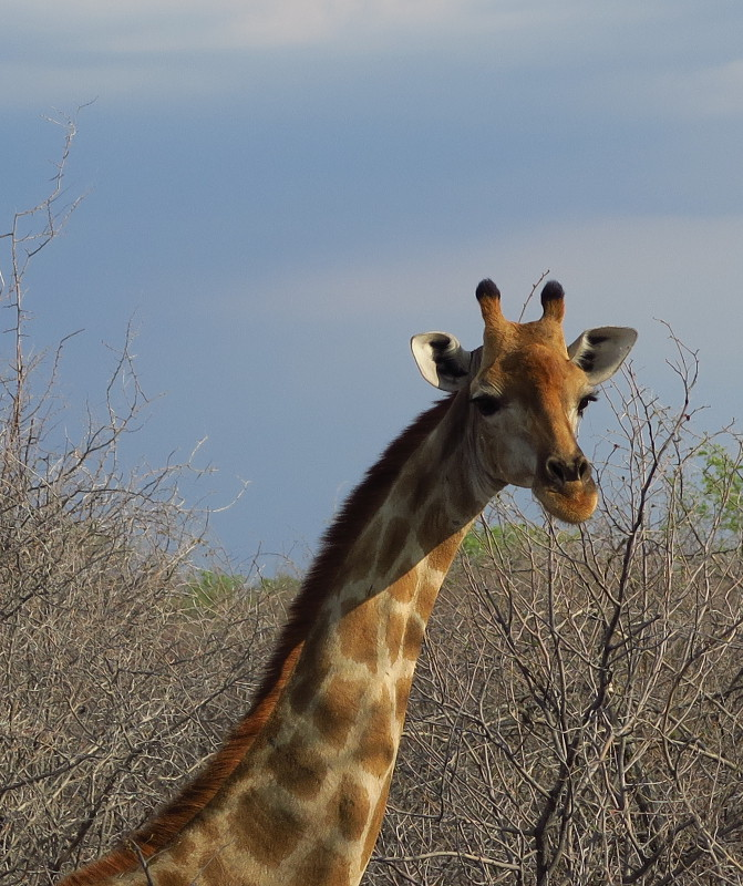 Nahaufnahme einer Giraffe