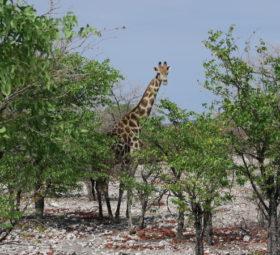 Eine Giraffe in Namibia