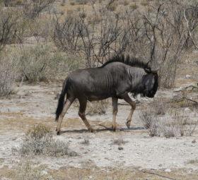Ein Gnu im Etosha-Nationalpark in Namibia