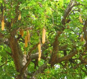Ein Leberwurstbaum, Nahrungsquelle verschiedener Wildtiere, in Botswana