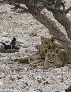 Drei Babylöwen machen Siesta unter einem Baum im Etosha-Nationalpark in Namibia