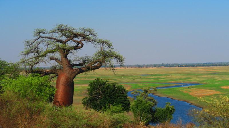 Ein Baobab an der Grenze von Botswana