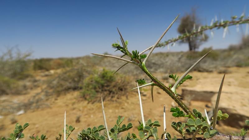 Nahaufnahme einer Dornenpflanze in Namibia