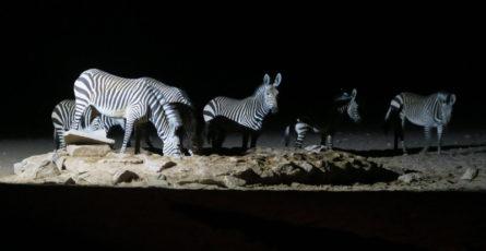 Eine Zebraherde beim nächtlichen Besuch am Wasserloch auf dem Zeltplatz