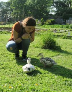Zwei neugierige Enten in einem Steingarten in Haverfordwest