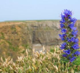 Eine leuchtende blaue Dolde an den Klippen von Stackpole Head