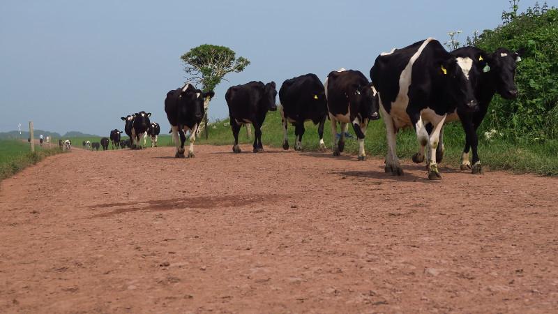 Eine Herde walisischer Kühe auf dem Weg von Weide zu Weide