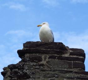 Eine Möwe auf einem Stein irgendwo in Wales