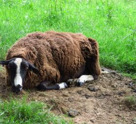 Ein schläfriges braunes Schaf irgendwo in Wales