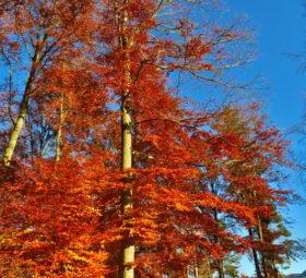 Ein großer schlanker Baum mit rotem Herbstlaub