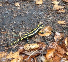Ein Feuersalamander in nassem Laub