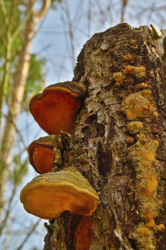 An einem abgesägten Baumstamm wachsen große Pilze