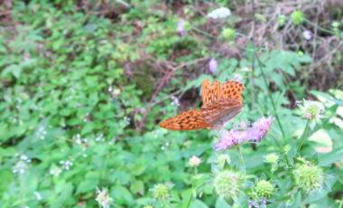 Ein orangefarbener Schmetterling mit schwarzen Punkten sitzt auf einer fliederfarbenen Blume