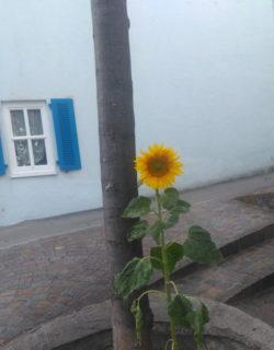Eine Sonnenblume wächst neben einem Baum in der Stadt