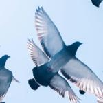 Retter der Tauben