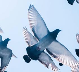 SWR Heimat – Retter der Tauben
