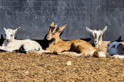 Beim Bauern kaufen – Ziegenhütte: Lecker Käse, süße Zicklein und viel Herzblut