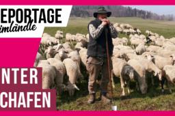 Unter Schafen – Einmal ins Schäferleben reinschnuppern